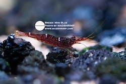 Sulawesi Mini Blue Caridina Shrimp