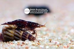 Sulawesi Black Galaxy Caridina Shrimp