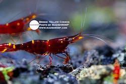 Sulawesi Yellow Cheeks Caridina Shrimp
