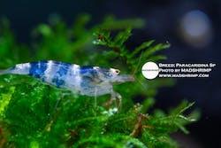 Paracaridina Sp Wild Shrimp