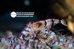 Racoon Shrimp