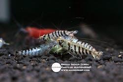 Caridina Babaulti (Indian Zebra) Shrimp