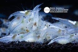 Snowball Shrimp