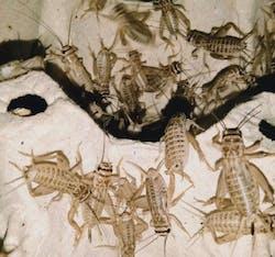 Crickets Live Feeder