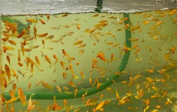 Red feeder fish (100 in a bag)