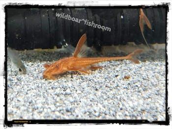 Red Lizard Catfish (Rineloricaria sp.)