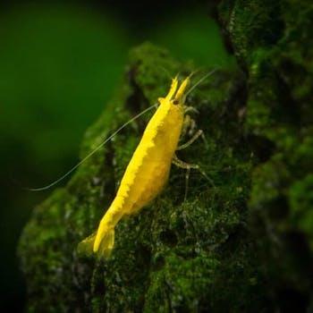 Golden Top Shrimp