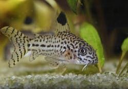 Leopard Corydoras (Julii)
