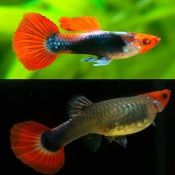 Albino Red Koi Tuxedo Guppy (1 Pair)