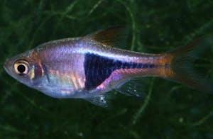 Purple Harlequin Rasbora