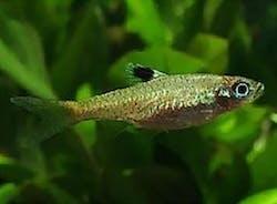 Blue Eyespot Rasbora