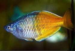 Rainbowfish Melanotaenia Boesemani