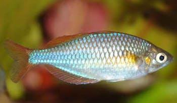 Neon Dwarf Rainbowfish