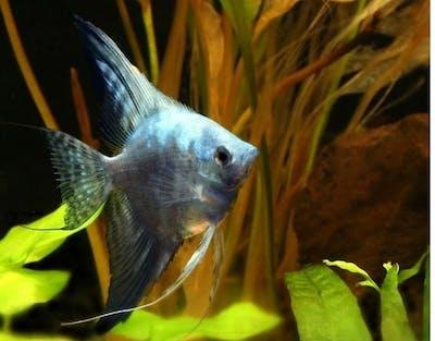Blue Smokey Pinoy Marble Angelfish