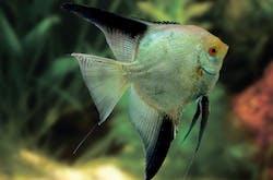 Green Bulgaria Angelfish