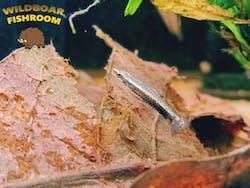Rocket pencilfish (Nannostomus eques)