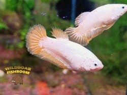 yellow Dragon betta (female)