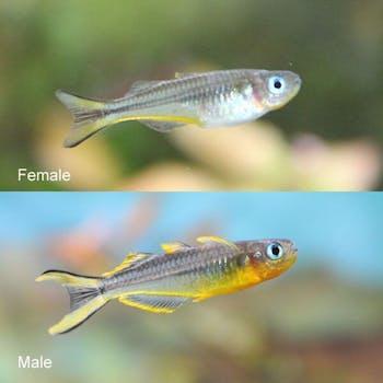 Forktail Rainbowfish 101 (Pseudomugil Furcatus)