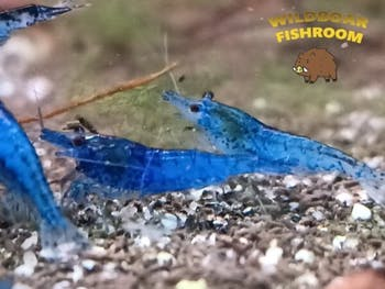 Fantasy blue shrimp (Neocaridina)