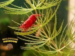 Fire red shrimp (Neocaridina)