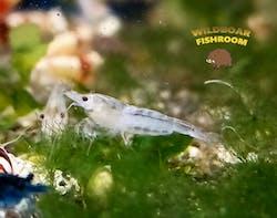 Snowball shrimp (Neocaridina )