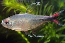 Phoenix Tetra (Hemigrammus Filamentosus)