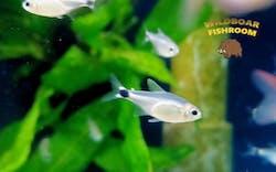 Reed tetra (Hyphessobrycon elachys)