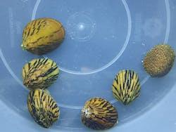 Abalone snails x 5pc