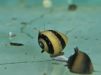 Bumblebee horned snail x 5pc