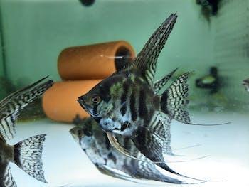 Black clown angelfish 5-6cm