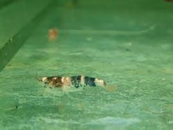 Bee shrimp 1-1.5cm X 5pc
