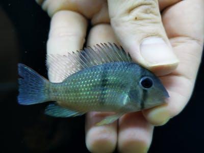 Guianacara owroewefi 6-7cm