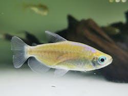 Blue eye congo tetra 3-4cm