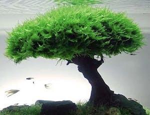 Moss Tree For Aquascape