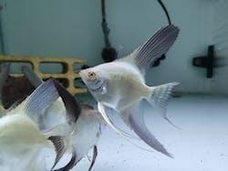 Bulgarian Seal Point angelfish 5cm