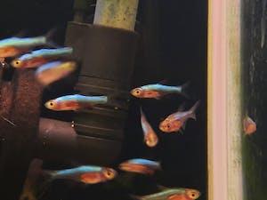 Blue axelrodi 2.5cm