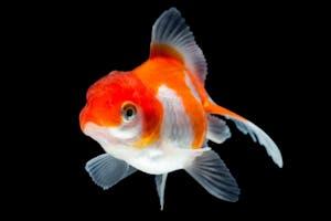 Red White Oranda Goldfish