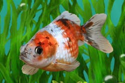 Calico Pearlscale Goldfish