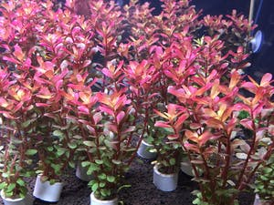 Rotala Super Red