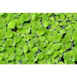 Water Lettuce Pista stratiotes