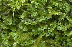 Pellia endiviifolia (per packet)