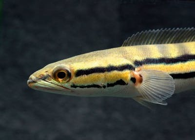 Yellow/Red Marulioides Emperor Snakehead
