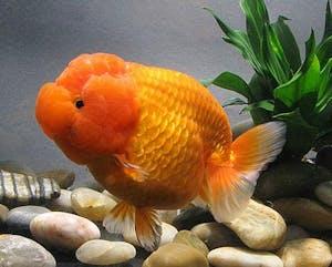 Lionchu Lionhead Ranchu Goldfish