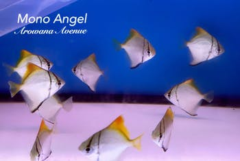 Mono Angel