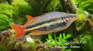 Red Tail Rainbow Fish