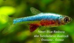 Neon Blue Rasbora
