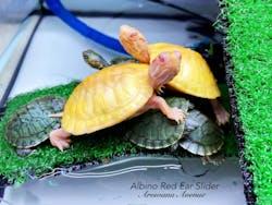 Albino Red Ear Slider Turtle