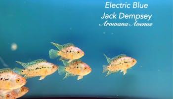 Electric Blue Jack Dempsey