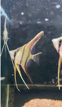 Wild Altum Angelfish