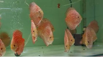 Golden Pigeon Spotted Discus